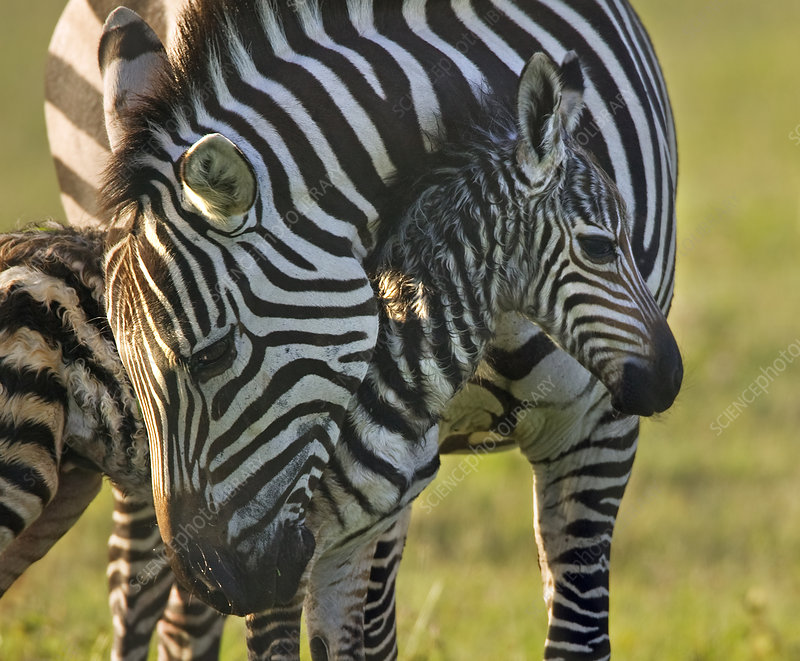 Burchell's Zebra mother with new born foal