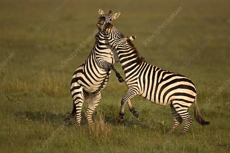 Two Common Zebra fighting, Masai Mara, Kenya