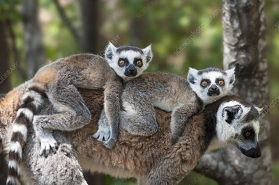 Young Ring-tailed lemurs carried on mother's back