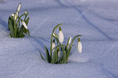 Snowdrops (Galanthus nivalis) in snow, UK