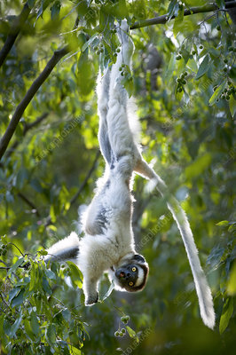 Verreaux's sifaka lemur hanging from branch while feeding