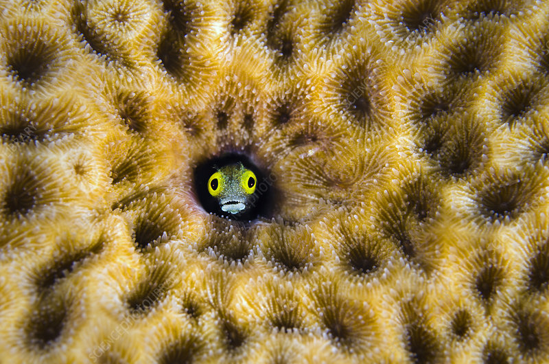 Secretary blenny peering from hole in massive Starlet coral
