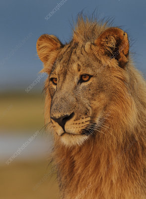 African Lion young male at sunrise
