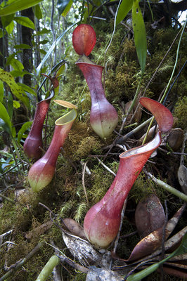 Aerial pitchers of pitcher plant (Nepenthes reinwardtiana)