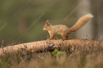 Red squirrel on scots pine log