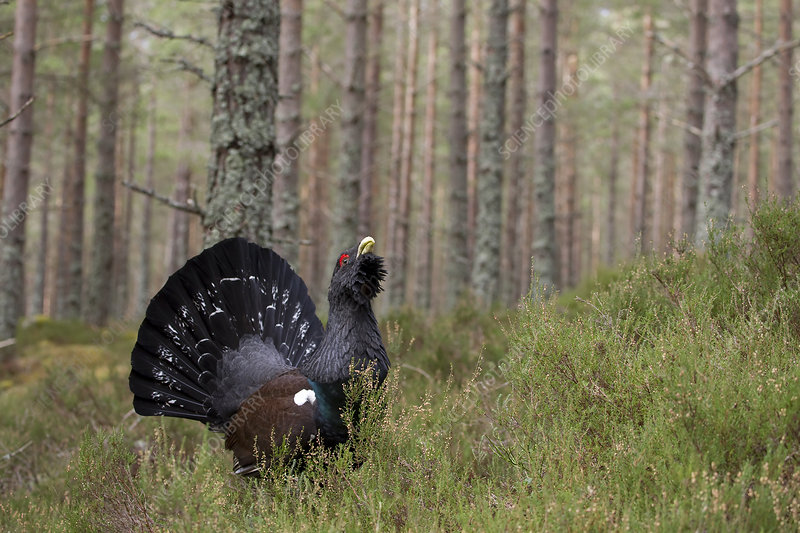 Male capercaillie displaying in pine forest