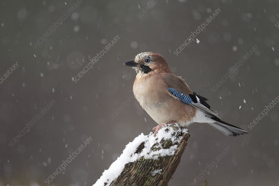 Jay in snowfall, Cairngorms National Park, Scotland, UK