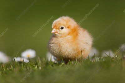 Domestic chicken newly hatched day chick