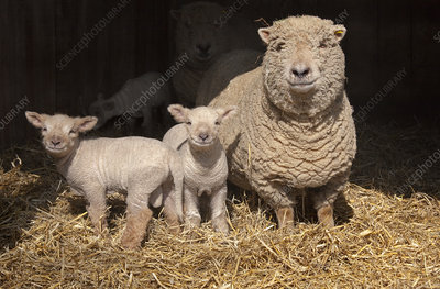 Domestic sheep, ewe and lambs in pen, UK