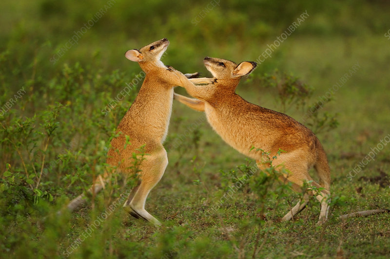Agile wallabies sparring and fighting