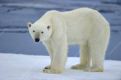 Polar bear on pack ice, Svalbard, Arctic