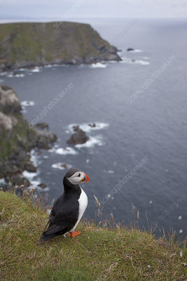 Puffin above breeding cliffs, Shetland, Scotland, UK