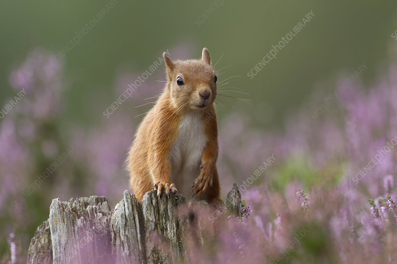 Red Squirrel on stump in flowering heather