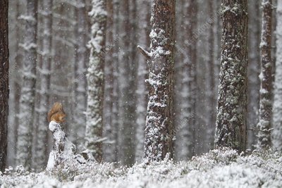 Red Squirrel in snowy pine forest, Glenfeshie, Scotland, UK