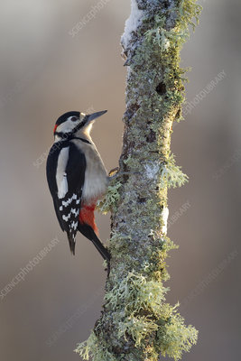 Great Spotted Woodpecker foraging on birch branch