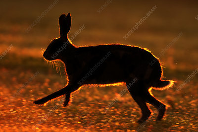 European hare silhouetted running at sunrise, UK