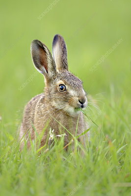 European hare leveret in field, UK