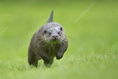 European otter running head on, UK