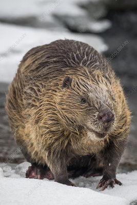 European beaver standing on snow at rivers edge