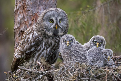 Great Grey Owl adult and chicks on nest