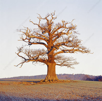 English oak tree (Quercus robur) in winter, Surrey, UK