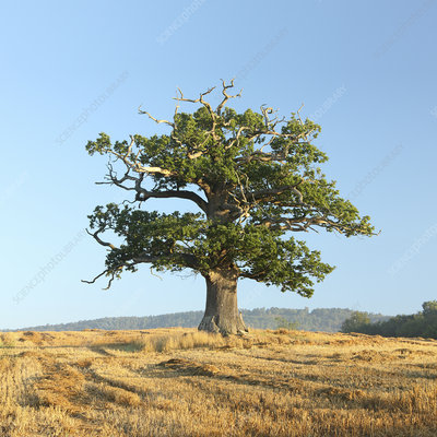 English oak (Quercus robur) tree in autumn, Surrey, UK