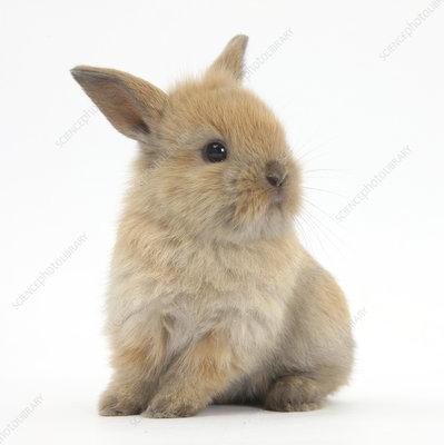 Baby Lionhead Lop cross rabbit,