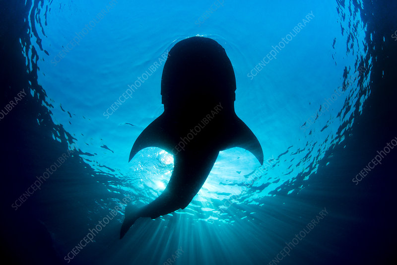Whale shark silhouette of shark feeding on floating fish egg