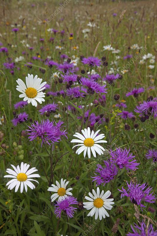 Wildflowers in hay meadow