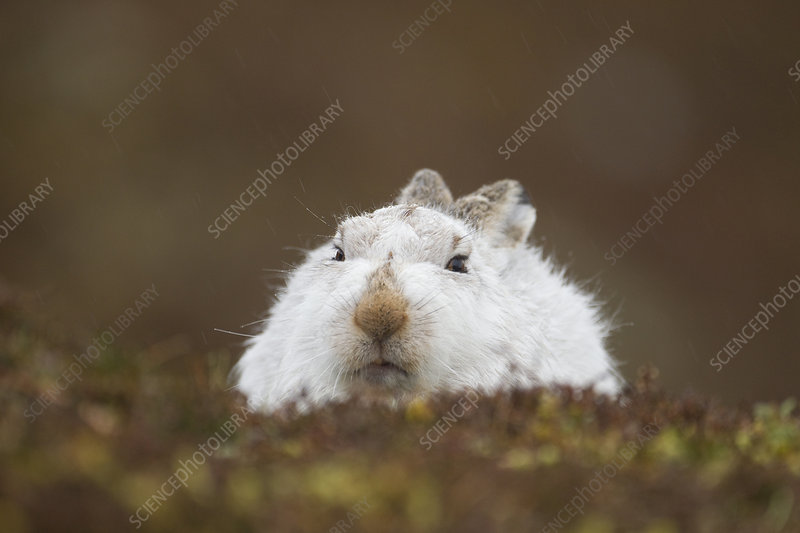 Mountain hare hunkered down in winter pelage, Scotland, UK