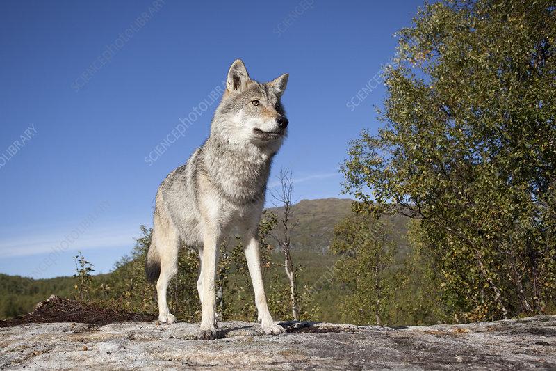 Eurasian wolf, Norway