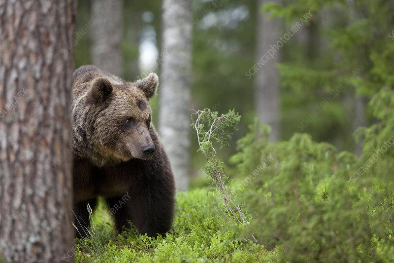 European brown bear prowling through forest, Finland