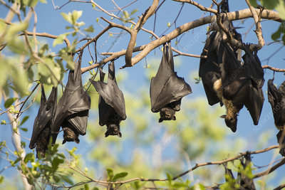 Spectacled flying fox colony roosting during daytime