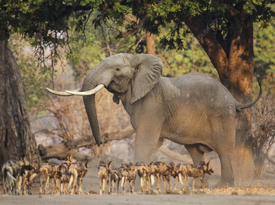 African Wild Dog pack interaction with African Elephant