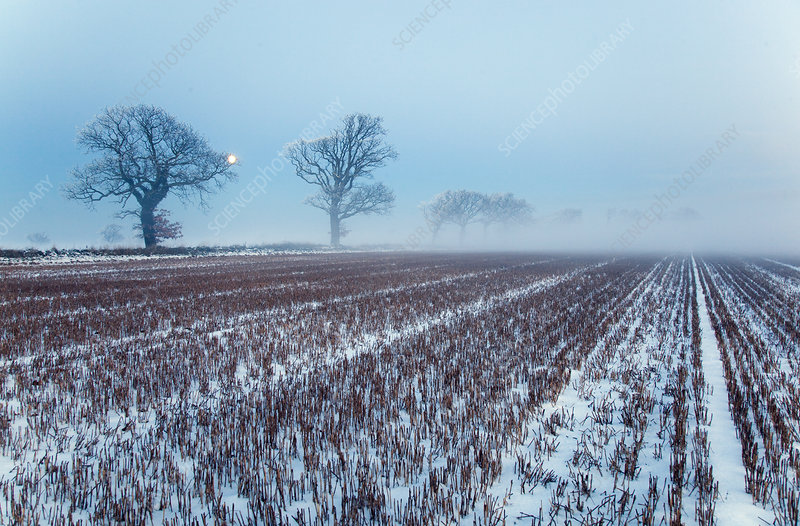 Snow covered stubble fields with oak trees and rising moon