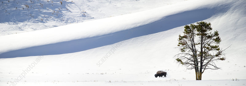 Lone American Bison grazing in snow