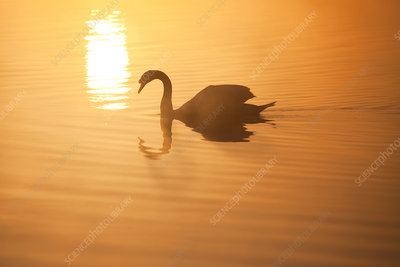 Mute swan on River Spey at dawn