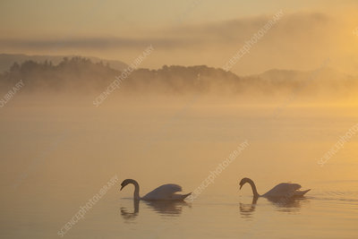 Two Mute swans on River Spey at dawn