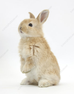 Young Sandy rabbit standing up on its haunches