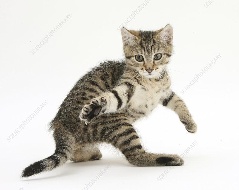 Playful tabby male kitten