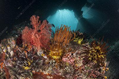 Crinoid on fan corals, Raja Ampat, West Papua, Indonesia