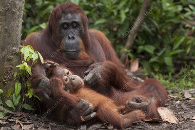 Bornean Orangutan mother and baby