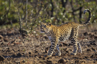 A young male African Leopard looking up, Mashatu, Botswana