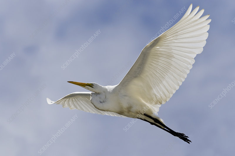 White Heron in flight, Westland National Park, New Zealand