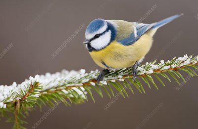 Blue tit perched on snowy Spruce tree Southern Norway