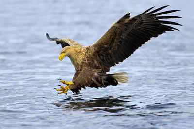 White-tailed sea eagle in flight, hunting for fish