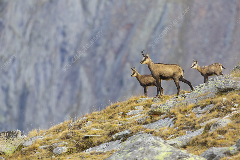 Chamois female with two kids standing on ridge