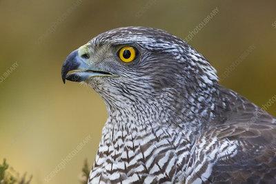 Female goshawk close-up