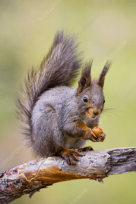 Red Squirrel sitting on branch with hazelnut