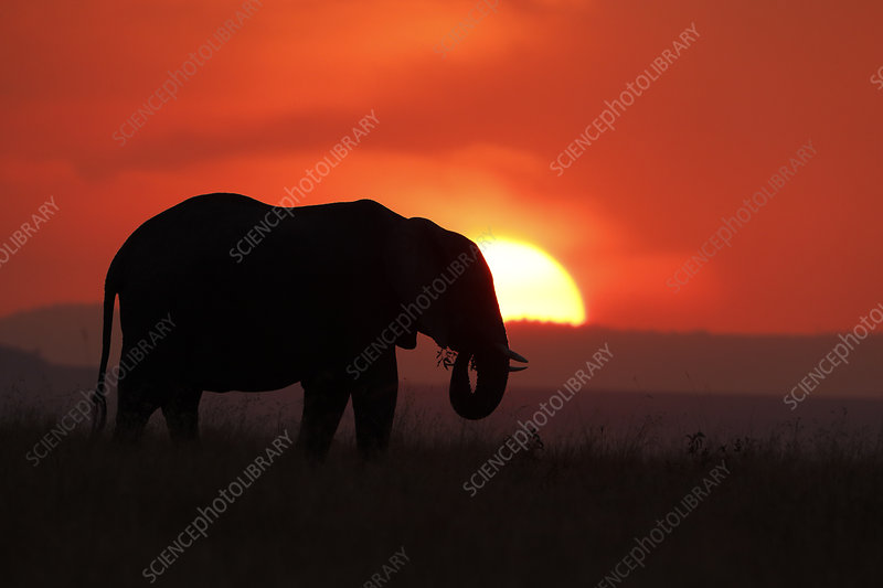 African Elephant silhouetted against setting sun